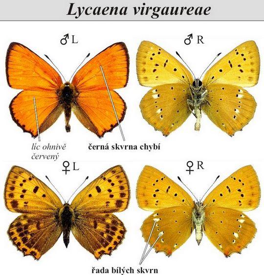 Lycaenavirgaureae -> Diffuseur Cuivre De La Medina