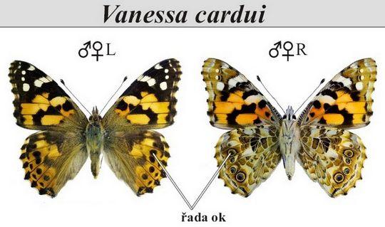 Cardui