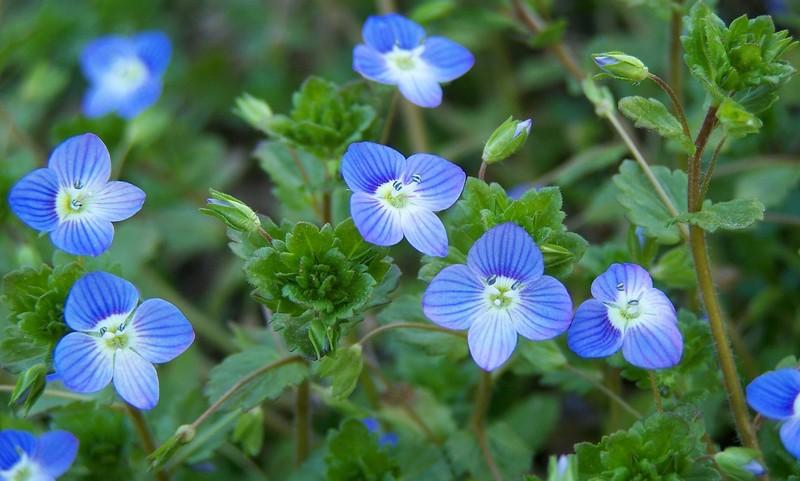 Violette veronique for Le jardin de violette