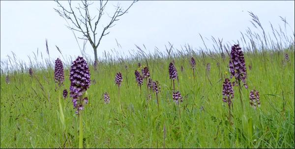 orchidee sauvage correze